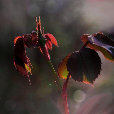 February Rosebud