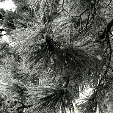 Ponderosa Pine needles under a dusting of snow, Colorado Springs, Colorado