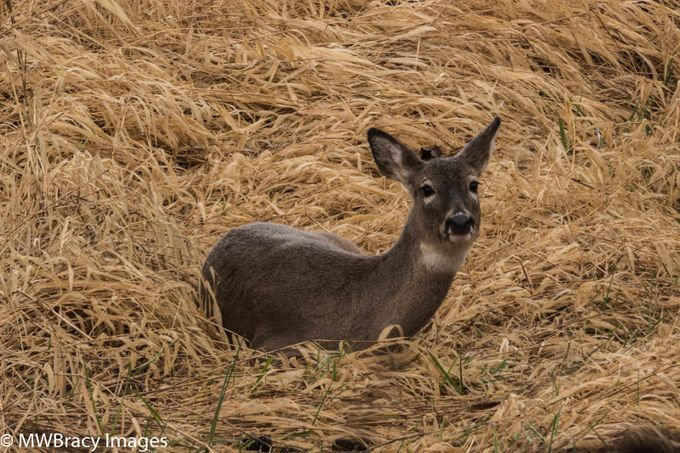 This Columbia White Tail doe was keeping a wary eye as I photographed her from a safe distance. These beautiful deer are endangered.