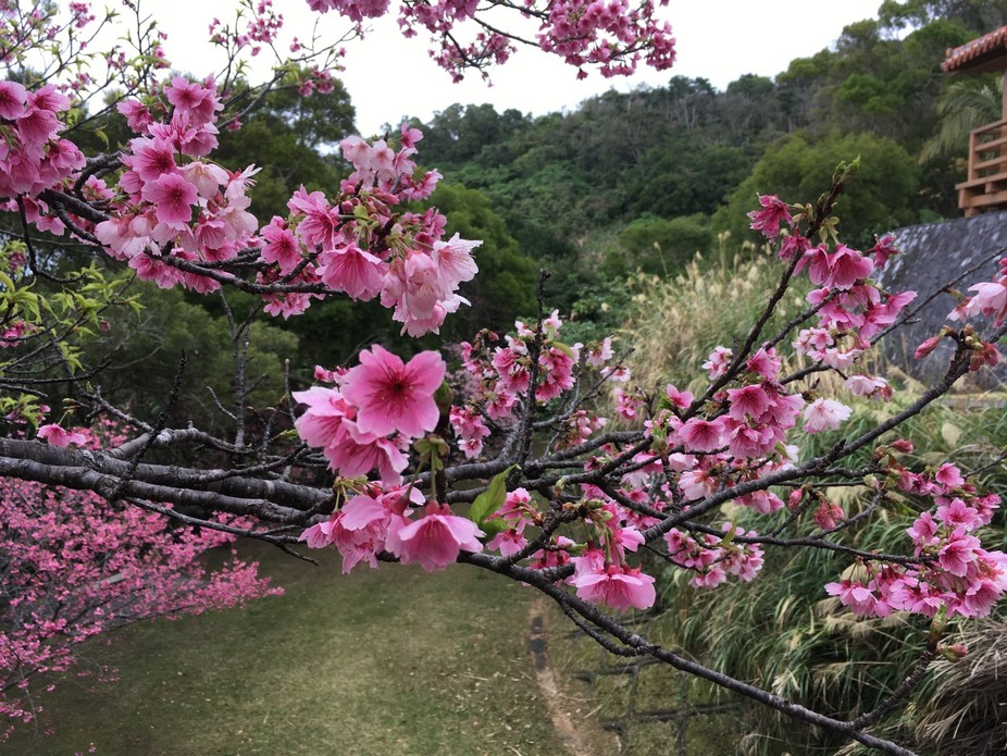 Nago Castle City. Cherry Blossoms (Sakura). Okinawa, Japan