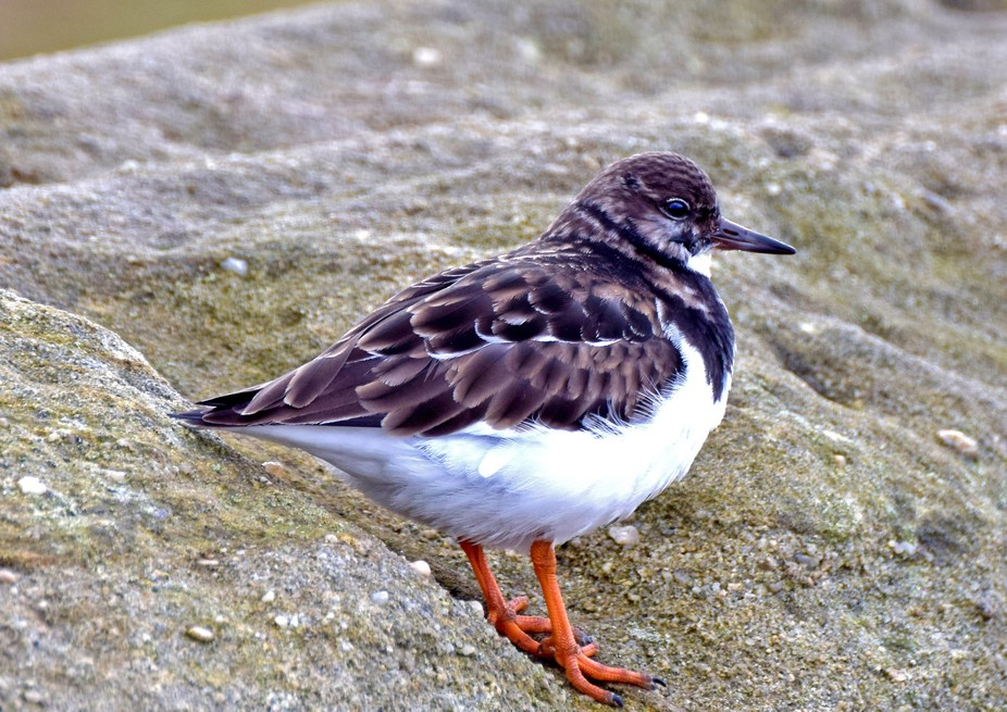 Turnstone captured on cold winters day whilst fishing.