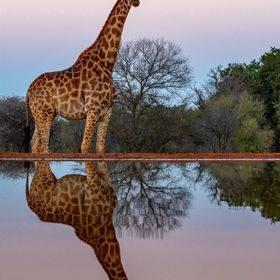 Beautiful giraffe and her reflection during sunset. Quite the new experience to photograph out of a man-made hide and to be (more or less) at eye...
