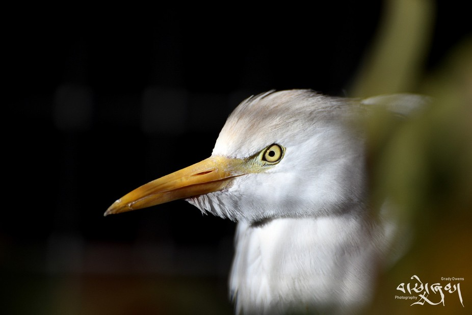 Taken at the Rio Grande Zoo, Albuquerque, NM. This cattle egret was in and out of this tiny littl...