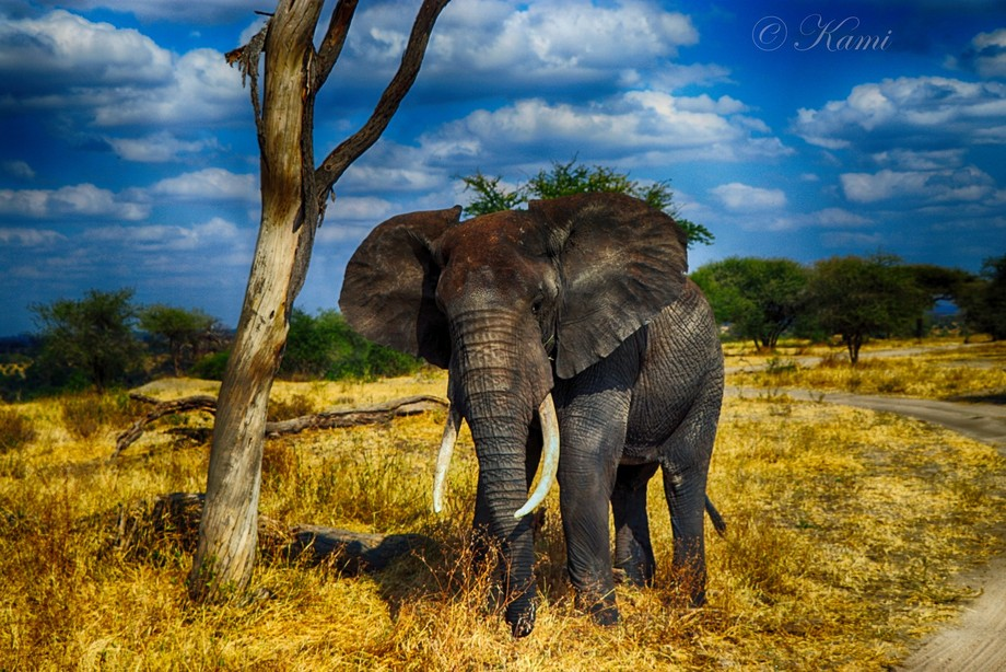 During my safari trio in Tanzania, I had a very close encounter with this elephant. They are peac...