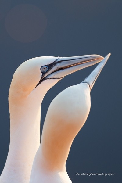 Gannets from Helgoland