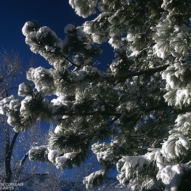 Snow on Ponderosa Pine (This is an update to an earlier version--I've learned a bit in the meantime)