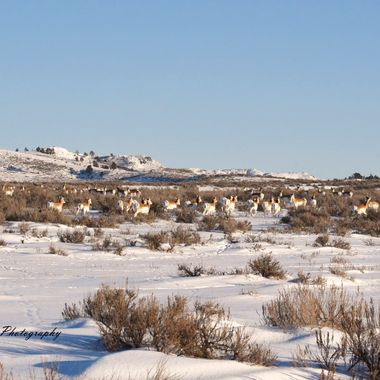 A herd of Wyoming Antelope (Pronghorn) migrating through.
