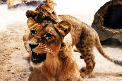 lioness with a young lion