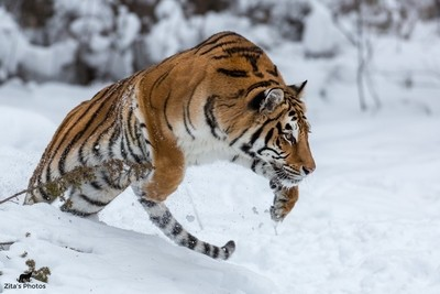 Amur Tigress Jump