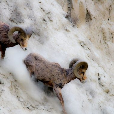 Two Bighorn Rams headed for lower ground.