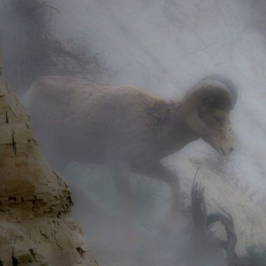 A Bighorn Ram is heading for new country.