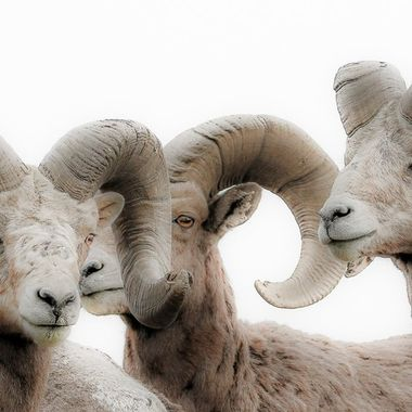 Three beautigul California Bighorn Sheep living near Kamloops B C