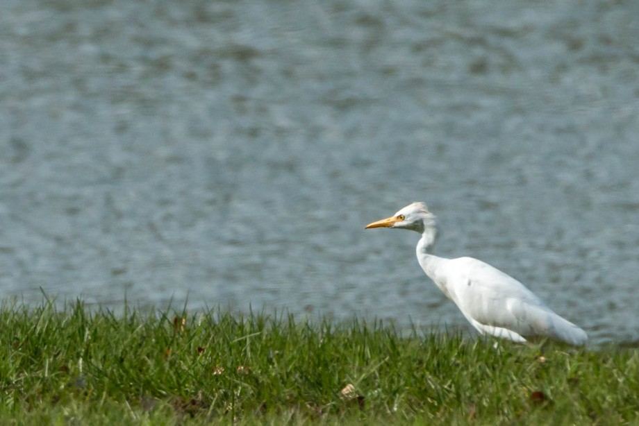 Cattle heron
