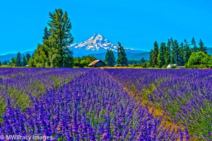 HDR Lavender valley