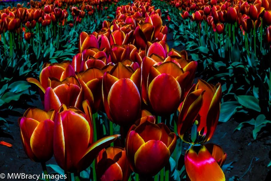 Artsy tulips