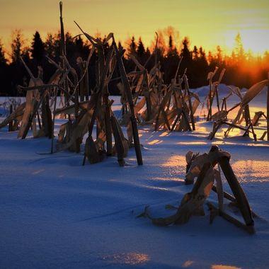 Morning sun on the last of the corn stalks left standing Nikon D3400 pop