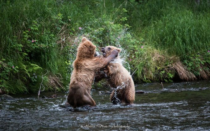 Play Fighting by AlaskaPinesPhotography - Bears Photo Contest
