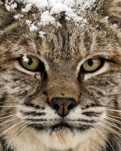 Bobcat Whiskers