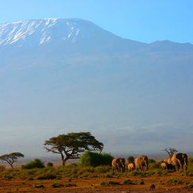 Typical view of a parade of elephants in the Amboseli Park with the view of the Kilimanjaro
