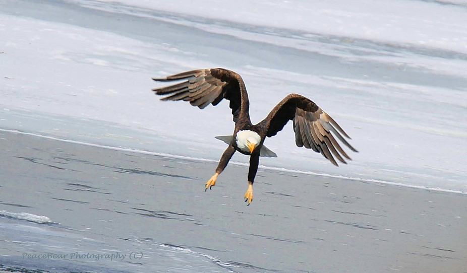 My best shot of the day, this incredible Bald Eagle was flying directly towards me, yet had his e...