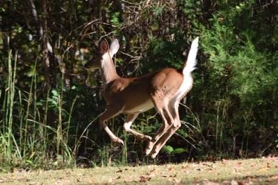 Pepi la Bambi