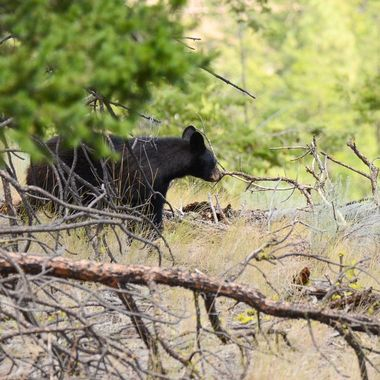 A black bear near Spences Bridge B C . She had two cubs up a tree nearby.