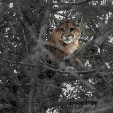 Mountain lion (cougar)  in a tree. This is a large male cougar.