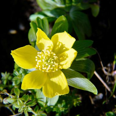 Winter Aconite Flower