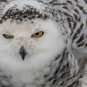 This pretty snowy owl was preening itself, not too pleased about me capturing its personal moment