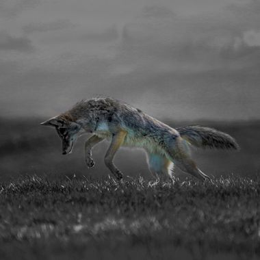This coyote is catching mice in a field