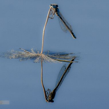 A damsel on a seed that is floating on Stump Lake