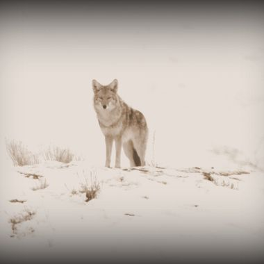 A Coyote standing at a safe distance and watching