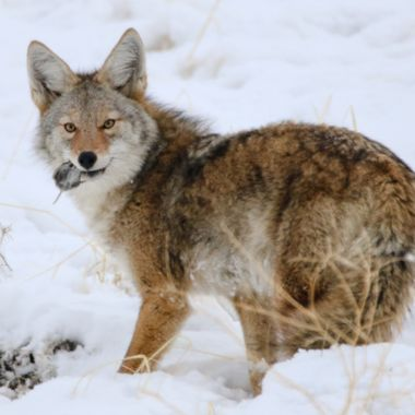 A coyote catches himself a vole near Merritt B C