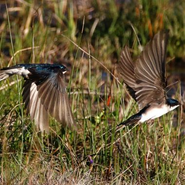 Tree swallows gathering mud for their nests at Lumbom Lake B C