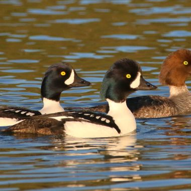 Three Goldeneye ducks at Nicola Lake B C