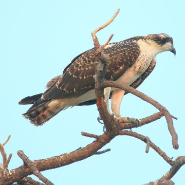 Osprey (fish hawk)