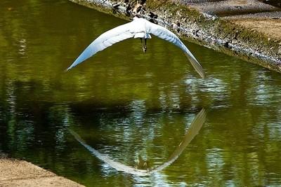 The little egret (Egretta garzetta).