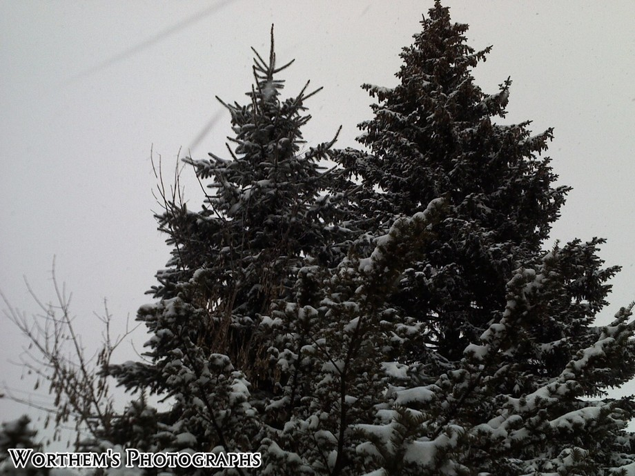 Christmas may have come & gone, these two big pine trees are showcasing themselves for next Christmas.
