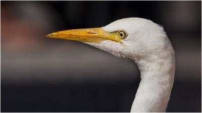 The cattle egret (Bubulcus ibis)