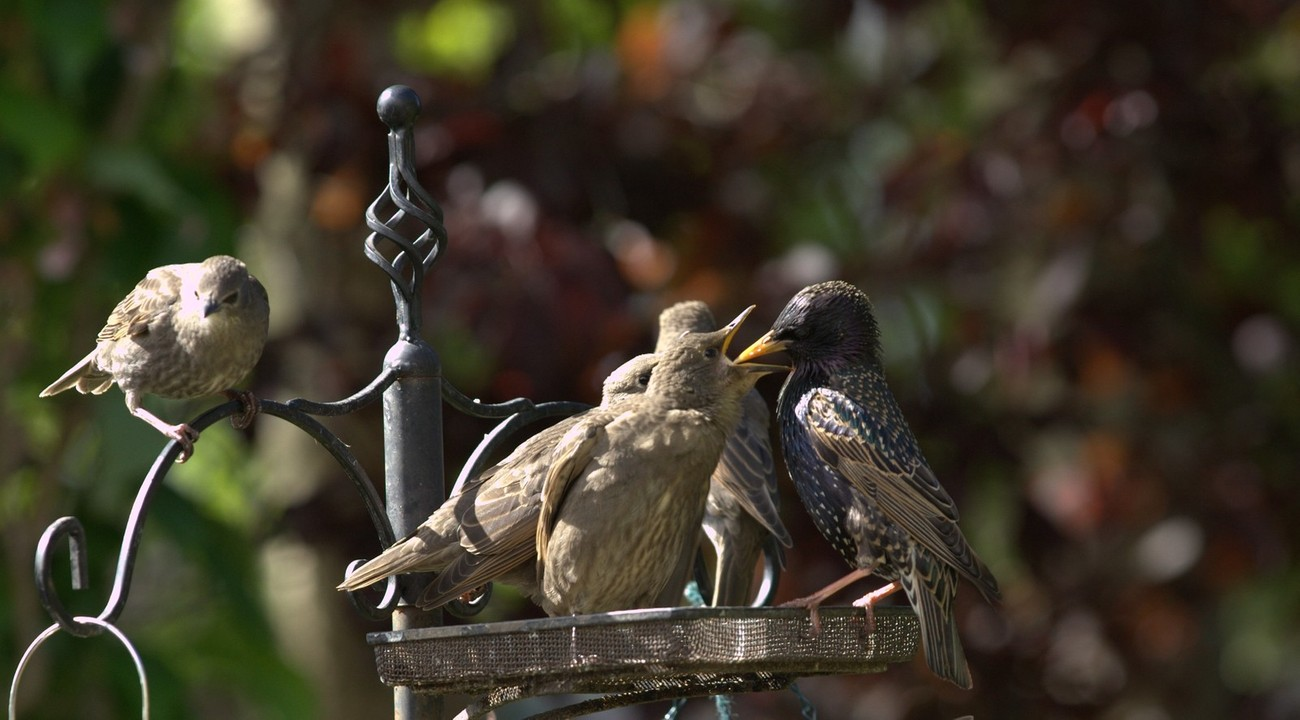 Visitors to our garden in May - it is possible I guess that the previous year's brood bring their young ones in because they KNOW they'll find food!!