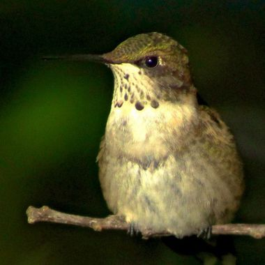 This was the last hummer for the year. The next day they were all gone.