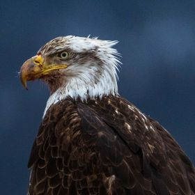 An Eagle sits perched after finishing a healthy meal of a dead deer. Blood parts on beak.