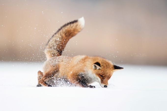 Fox catch mice by TaraWillow - Winter Wildlife Photo Contest