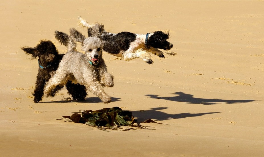 Poodles on the beach