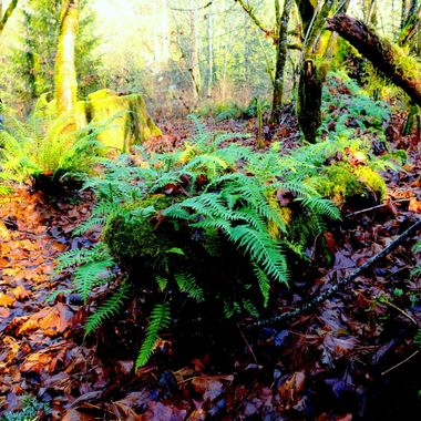 The ferns don't get much sun until fall when the leaves all fall off the deciduous trees.
