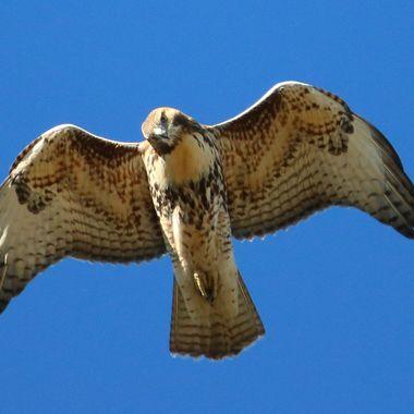 A Rough legged Hawk having a close look at my camera.