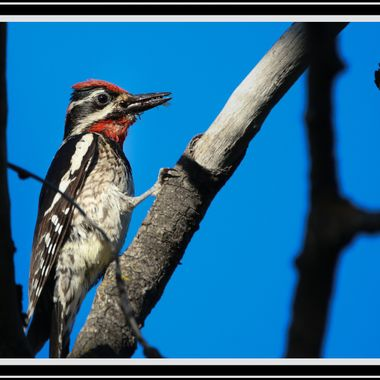 Red Naped Sapsucker with a mouth full of ants for his family