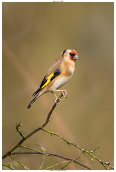Goldfinch In Portrait