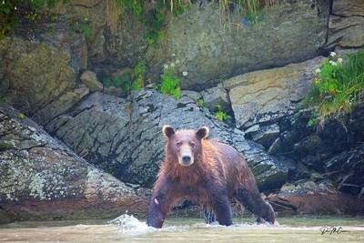 Coastal Brown Bear, Kuliak Bay, AK