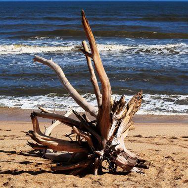 Drift Tree at New Smyrna Beach 021218
